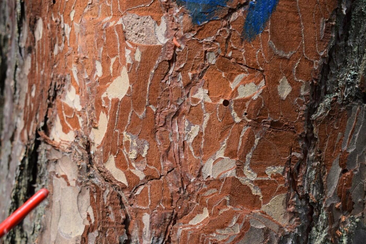 """Біологічну """"зброю"""" – мурахожука випустили в лісах на Сумщині, фото-2"""