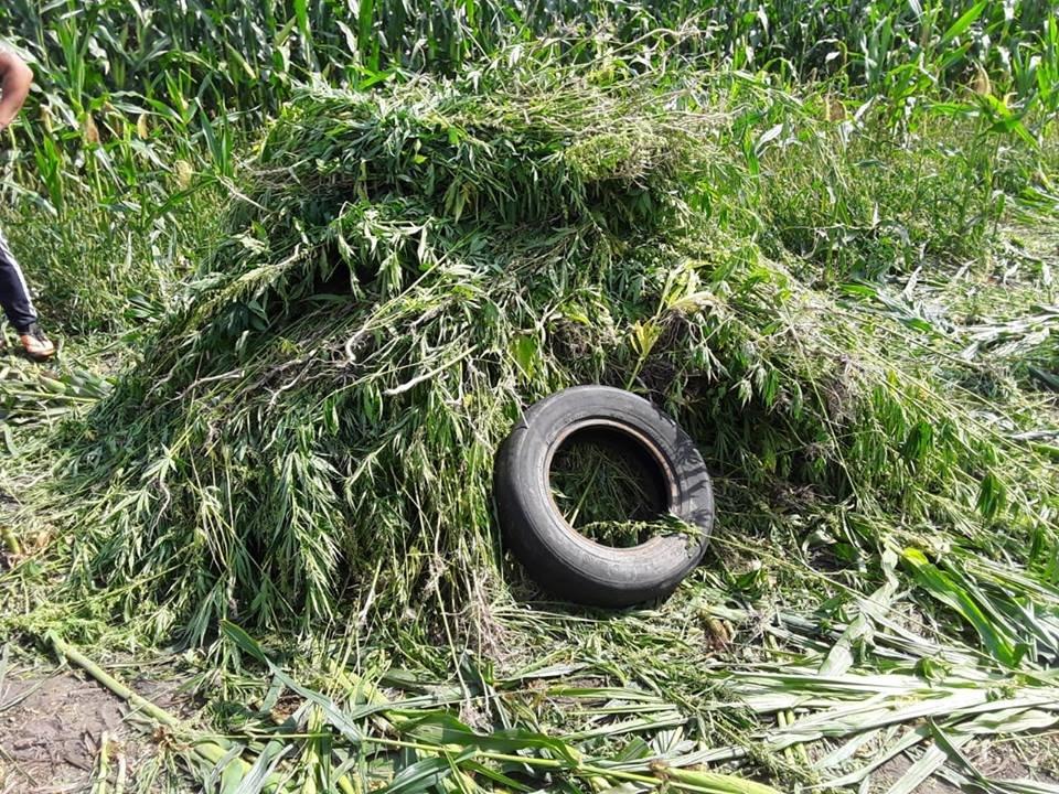 На Сумщині правоохоронці виявили плантацію конопель на 12 мільйонів, фото-1