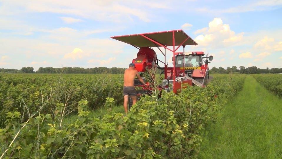 На Конотопщині вирощують 82% ягідної продукції області, фото-2