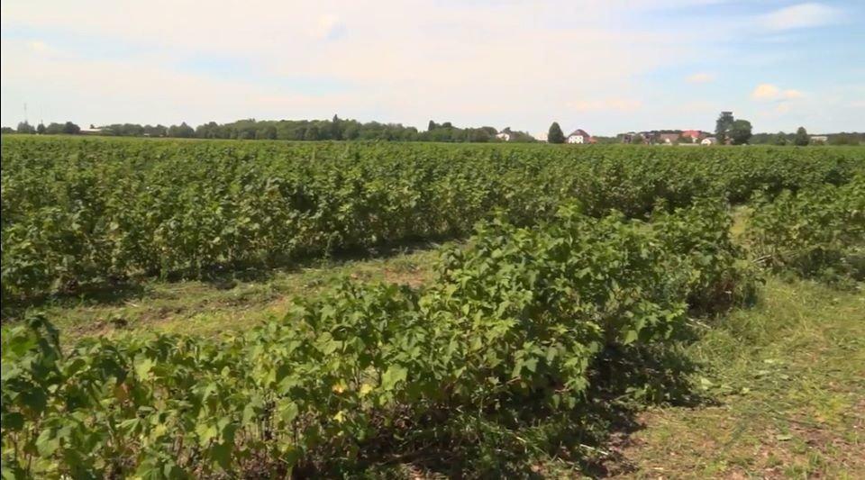 На Конотопщині вирощують 82% ягідної продукції області, фото-3