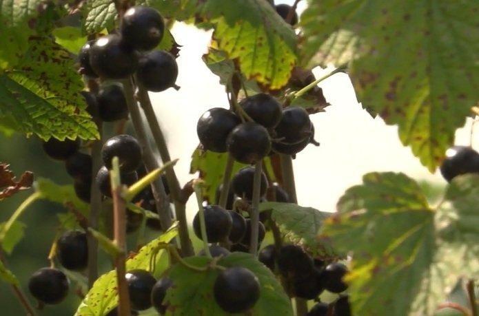 На Конотопщині вирощують 82% ягідної продукції області, фото-4