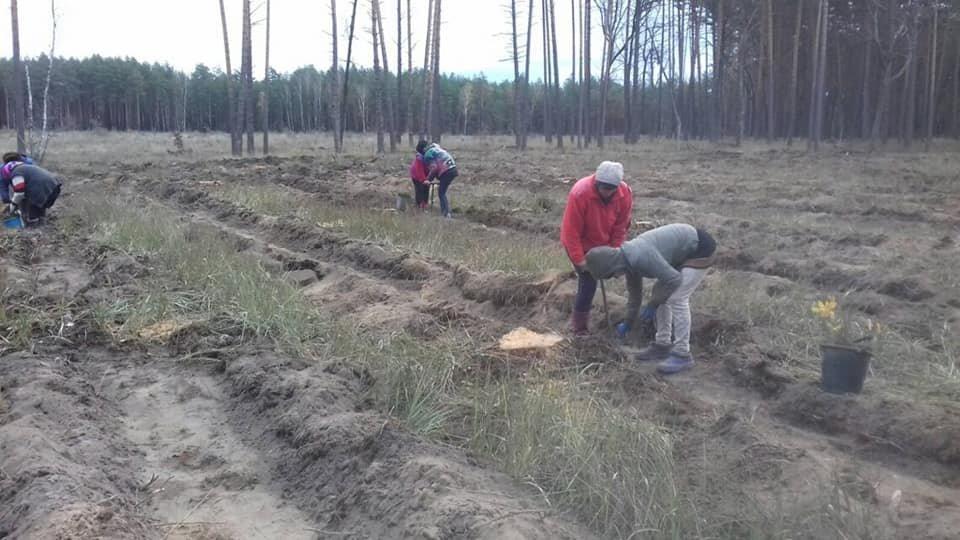 У Конотопському лісгоспі триває кампанія з посадки дерев, фото-1